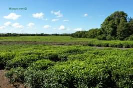 Mauritius - Tea culture