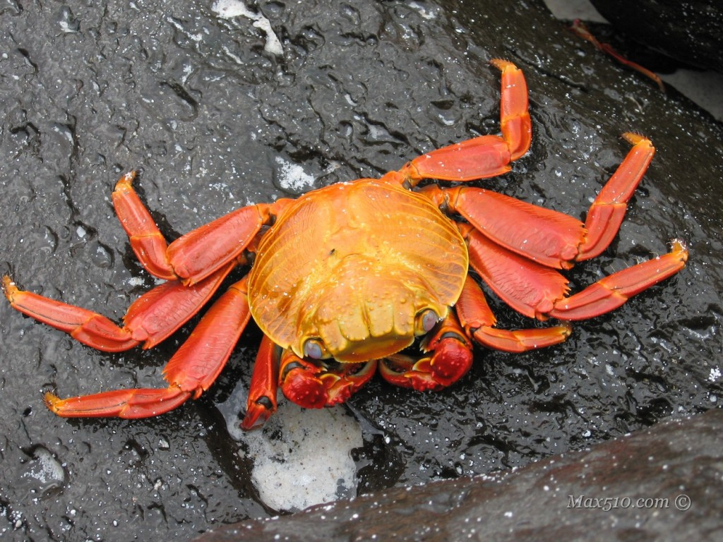 Galpagos - Red Crab