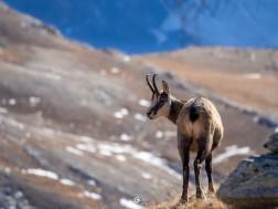 Chamois - Gran Paradiso National Park